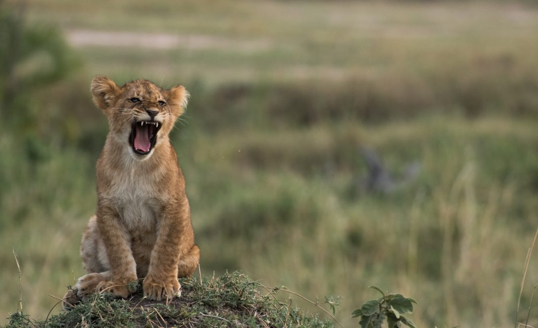 Fearsome Lion Cub