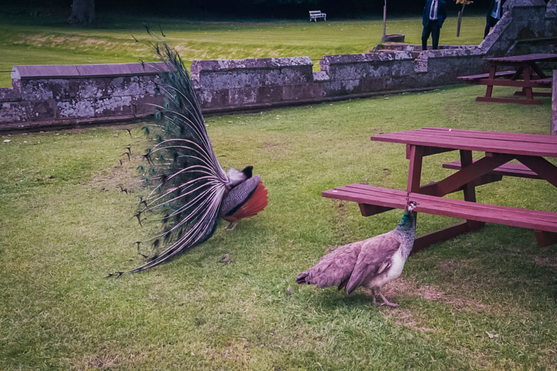 the peahen is mostly uninterested in this showy peacock