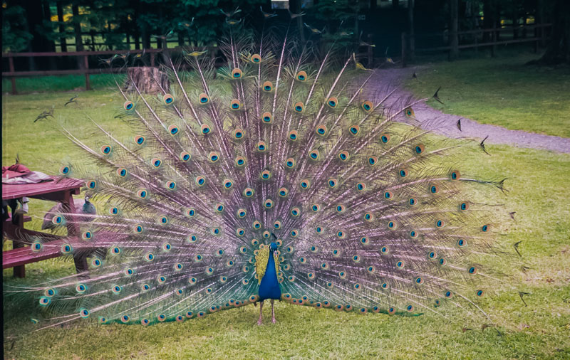 a large and very noisy peacock
